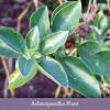 Ashwagandha (organic) 500 mg - 90 tablets by Banyan Botanicals 3
