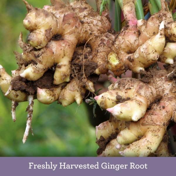 Freshly harvested Ginger plant