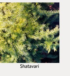 Happy Valentines Day with Ashwagandha & Shatavari 3